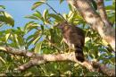 image 6298 of Crested Goshawk