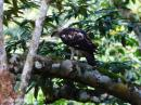 image 7970 of Changeable Hawk Eagle