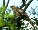 image 6451 of Blyth's Hawk Eagle