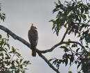 image 7692 of Wallace's Hawk Eagle
