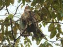 image 3324 of Wallace's Hawk Eagle