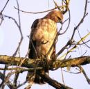 image 5843 of Wallace's Hawk Eagle