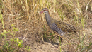 image 6624 of Buff-banded Rail