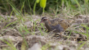 image 6625 of Buff-banded Rail