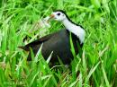 image 7954 of White-breasted Waterhen