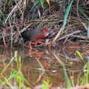 image 6587 of Ruddy-breasted Crake