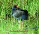 image 3281 of Purple Swamphen