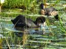 image 5785 of Common Coot