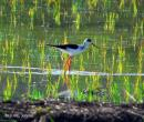 image 4692 of Black-winged Stilt