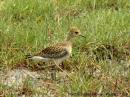 image 5501 of Pacific Golden Plover