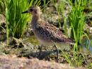 image 6993 of Pacific Golden Plover