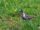 image 6567 of Pacific Golden Plover