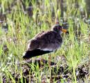 image 8242 of Grey-headed Lapwing