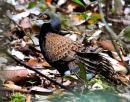 image 6948 of Bornean Peacock Pheasant