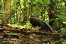 image 3357 of PHASIANIDAE Pheasants, Partridges, Quail