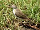 image 5729 of Common Sandpiper
