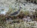 image 5542 of Grey-tailed Tattler
