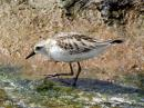image 5556 of Red-necked Stint