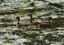 image 7160 of Lesser Whistling-duck