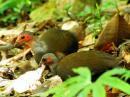 image 6579 of Philippine Megapode