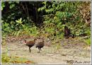 image 6643 of Philippine Megapode