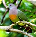 image 3078 of Pink-necked Green Pigeon