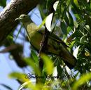 image 3075 of Pink-necked Green Pigeon