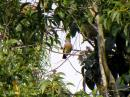 image 5587 of Pink-necked Green Pigeon