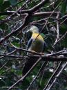 image 7984 of Large Green Pigeon