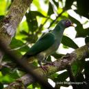 image 7312 of Jambu Fruit Dove