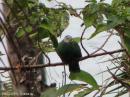 image 1583 of COLUMBIDAE Pigeons & Doves