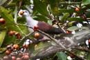 image 7296 of Mountain Imperial Pigeon