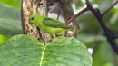 image 6675 of PSITTACIDAE Parrots