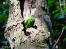 image 7965 of Blue-crowned Hanging Parrot
