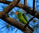 image 8118 of Blue-naped Parrot