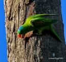 image 8111 of Blue-naped Parrot