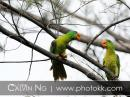 image 5052 of Blue-naped Parrot