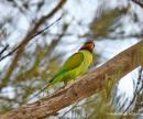 image 8135 of Long-tailed Parakeet