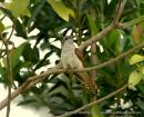 image 3094 of Banded Bay Cuckoo