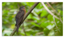 image 6979 of CUCULIDAE Cuckoos, Malkohas & Coucals