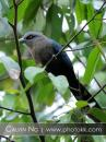 image 5091 of CUCULIDAE Cuckoos, Malkohas & Coucals