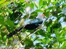 image 7911 of CUCULIDAE Cuckoos, Malkohas & Coucals