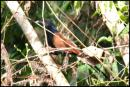 image 2443 of Short-toed Coucal