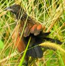 image 6612 of Lesser Coucal