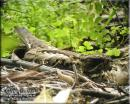 image 6740 of CAPRIMULGIDAE Nightjars