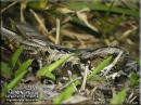 image 6739 of Large-tailed Nightjar