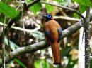 image 7946 of Red-naped Trogon