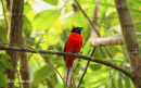 image 8070 of Scarlet-rumped Trogon