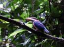 image 7913 of Chestnut-collared Kingfisher