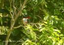 image 7506 of Black-capped Kingfisher